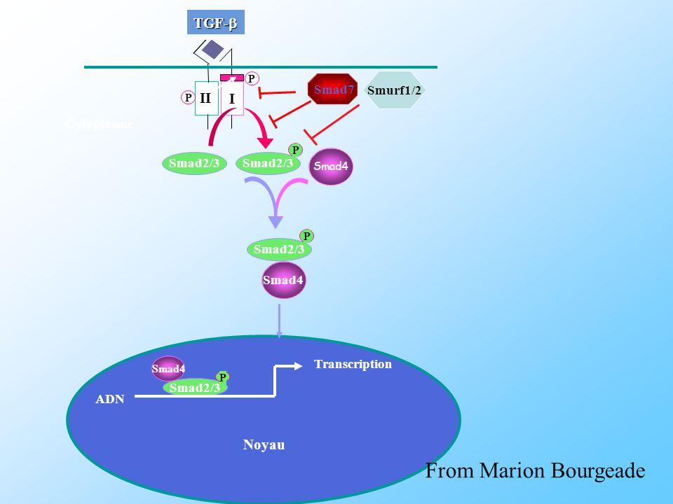II Smad4 Smad2/3 P I P P TGF- TGF- Smad4 Smad2/3 P Smad7 Smad2/3 P Smad4 Transcription Noyau Cytoplasme ADN Smurf1/2 From Marion Bourgeade