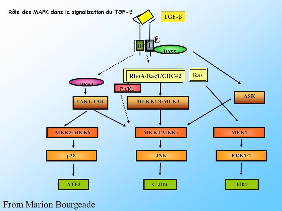 Daxx PAK1 HPK1 MKK4/MKK7 JNK ASK TAK1/TAB C-Jun P II I Ras MEKK1/4/MLK3 TGF- MKK3/MKK6 p38 ATF2 MEK1 ERK1/2 Elk1 RhoA/Rac1/CDC42 Rôle des MAPK dans la