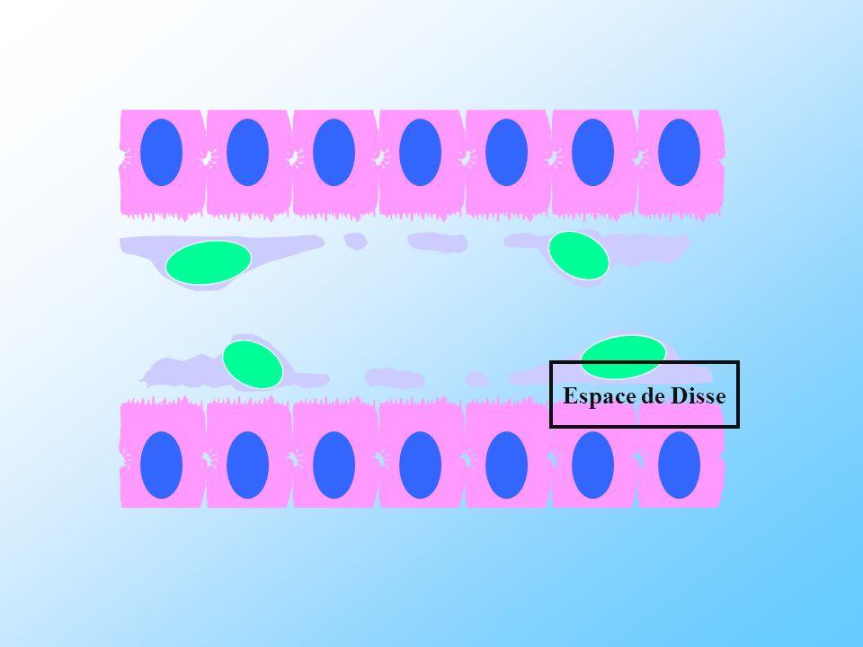 Cellule endothéliale Cellule Kupffer Cellule étoilée Hépatocytes LESPACE DE DISSE pit cell Foie Fibrotique : dépôt dune matrice riche en collagéne fibrillaire