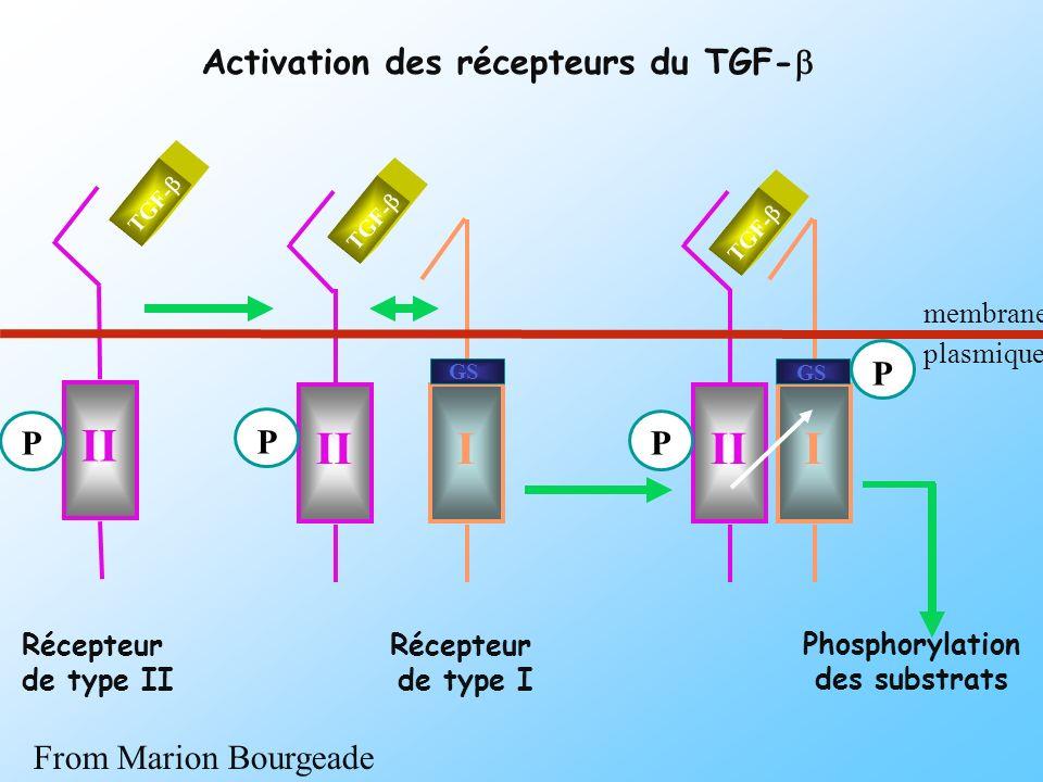 III I P P P Phosphorylation des substrats membrane plasmique II P Récepteur de type II Récepteur de type I TGF- GS Activation des récepteurs du TGF- F
