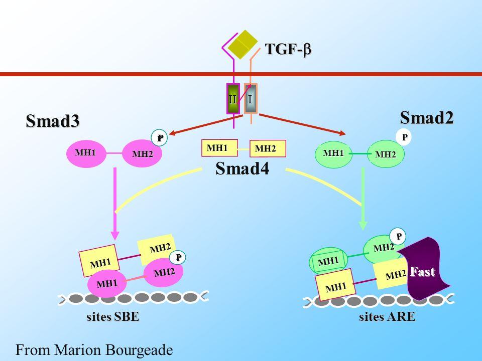 DomaineMH2 linker Smad1/5/8 Smad2 Smad3 Smad4 Smad6 Smad7 DomaineMH1 SSVS SSMS Exon3 SSVS I-Smad co-Smad R-Smad N C C C C C C N N N N N Les protéines Smads From Marion Bourgeade
