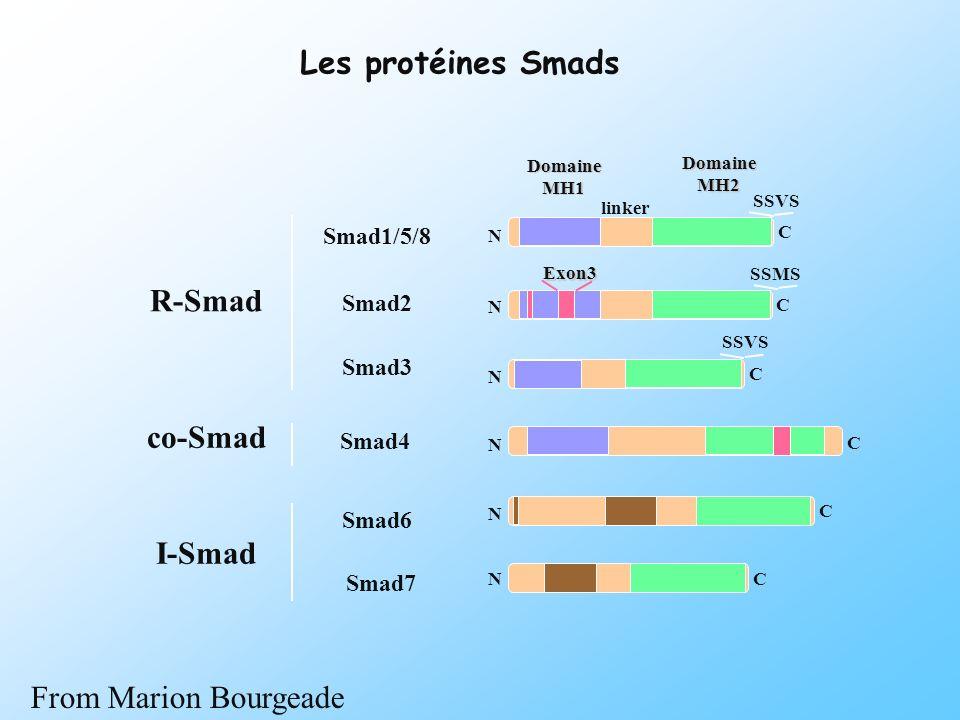DomaineMH2 linker Smad1/5/8 Smad2 Smad3 Smad4 Smad6 Smad7 DomaineMH1 SSVS SSMS Exon3 SSVS I-Smad co-Smad R-Smad N C C C C C C N N N N N Les protéines