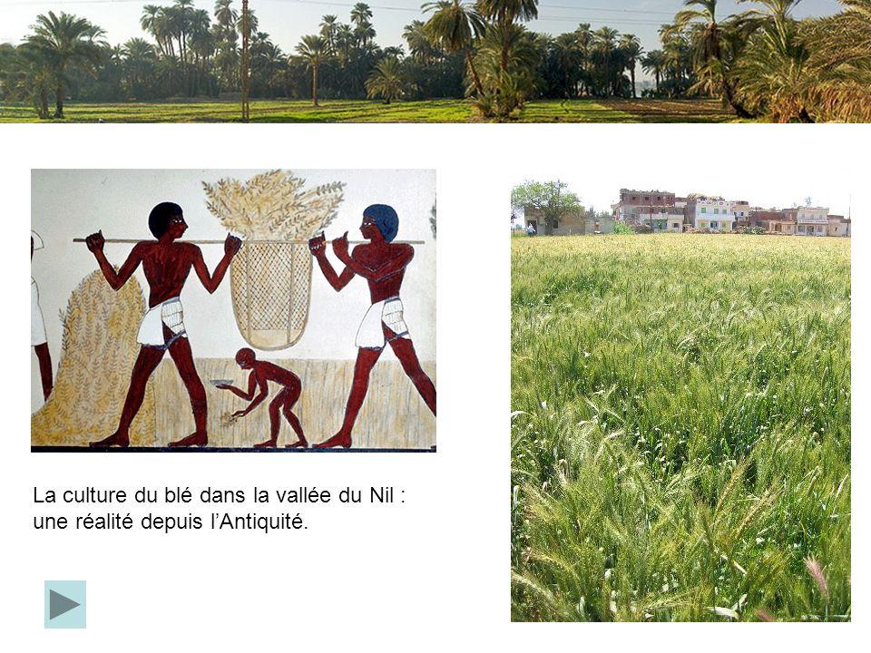 La culture du blé dans la vallée du Nil : une réalité depuis lAntiquité.