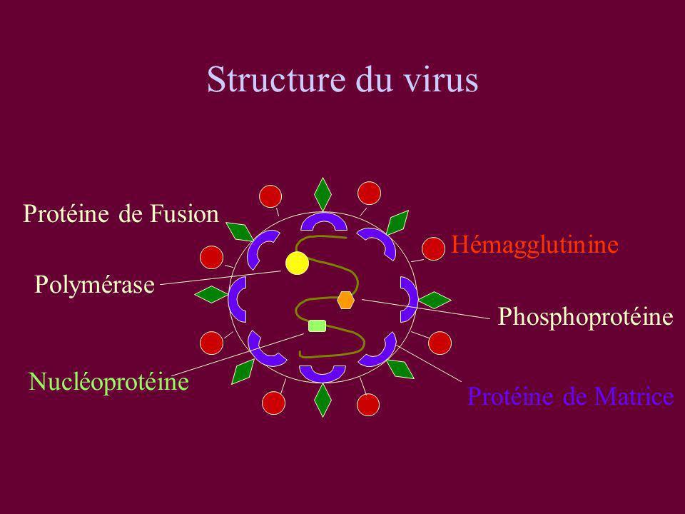 Structure du virus Hémagglutinine Protéine de Fusion Protéine de Matrice Polymérase Phosphoprotéine Nucléoprotéine