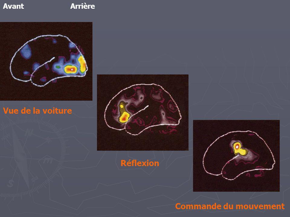 Le cerveau, comme tous les organes, est constitué de cellules En quoi les cellules nerveuses sont-elles adaptées à la communication .
