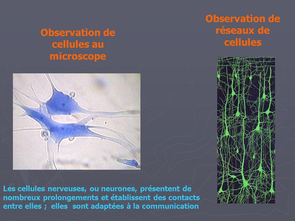 Observation de cellules au microscope Observation de réseaux de cellules Les cellules nerveuses, ou neurones, présentent de nombreux prolongements et