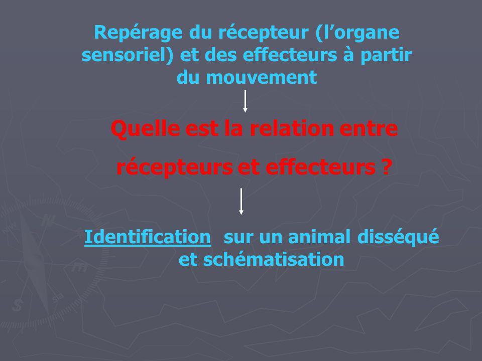 Repérage du récepteur (lorgane sensoriel) et des effecteurs à partir du mouvement Quelle est la relation entre récepteurs et effecteurs ? Identificati