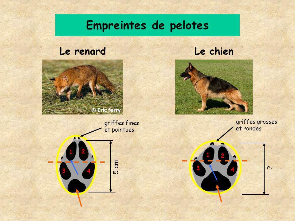 Le renard Empreintes de pelotes Le chien griffes fines et pointues griffes grosses et rondes 5 cm 1 2 3 4 1 2 3 4 ?