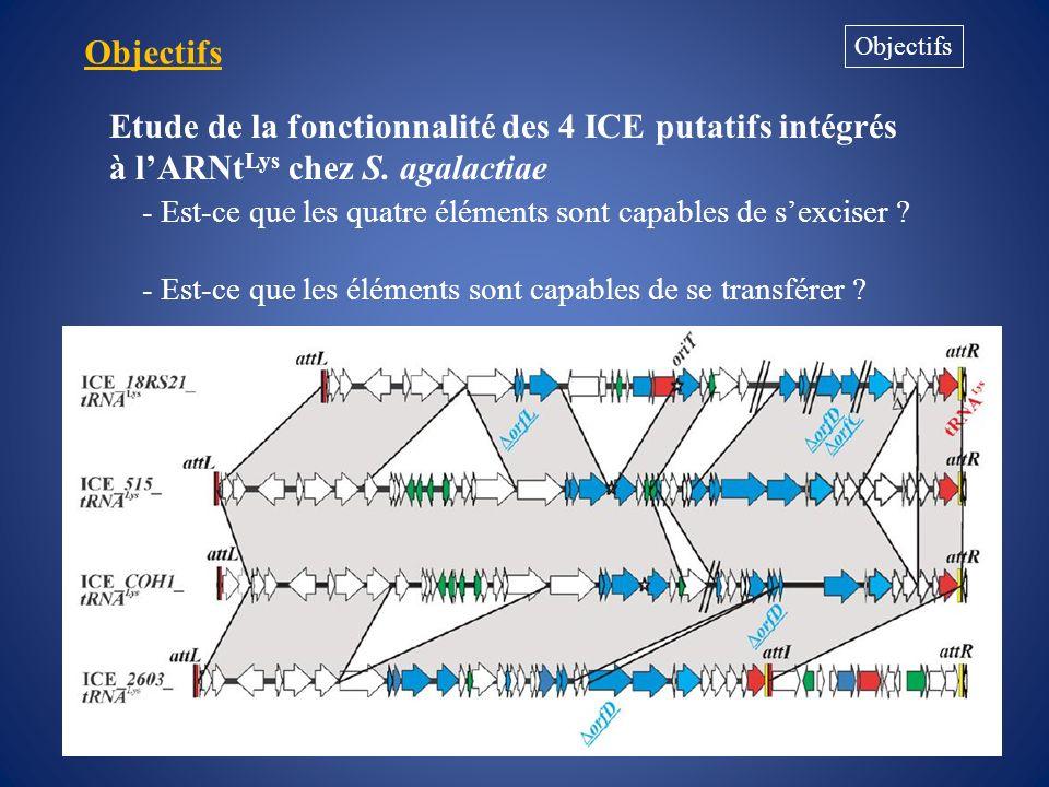 Résultats Test dexcision des ICE ICE attL attR ARNt Lys Excision attI + attB ARNt Lys 400 pb 547 pb 100 pb ladder 515 2603 V/R COH1 1 2 3 18RS21 1,5 kb 1 kb 500 pb 200 pb 300 pb 700 pb 100 pb 597 pb 492 pb 404 pb Seul lélément présent chez la souche 515 sexcise
