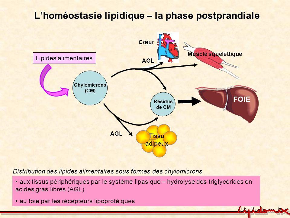 Lhoméostasie lipidique – la phase postprandiale AGL Chylomicrons (CM) FOIE AGL Lipides alimentaires AGL Cœur Résidus de CM Muscle squelettique aux tis