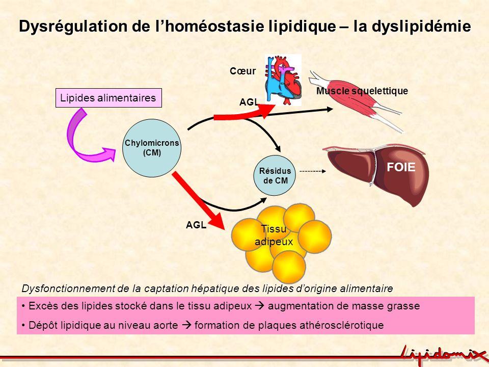 Lhoméostasie lipidique – le rôle dun nouveau récepteur hépatique le lipolysis stimulated lipoprotein receptor LSR AGL Chylomicrons (CM) FOIE AGL Lipides alimentaires AGL Cœur Résidus de CM Muscle squelettique Caractérisation dun nouveau modèle de souris qui exprime quun allèle du gène lsr : LSR +/- Tissu adipeux LSR TG (µg/fraction) N ° de fraction Chylomicrons VLDL LDL Contrôle LSR +/-