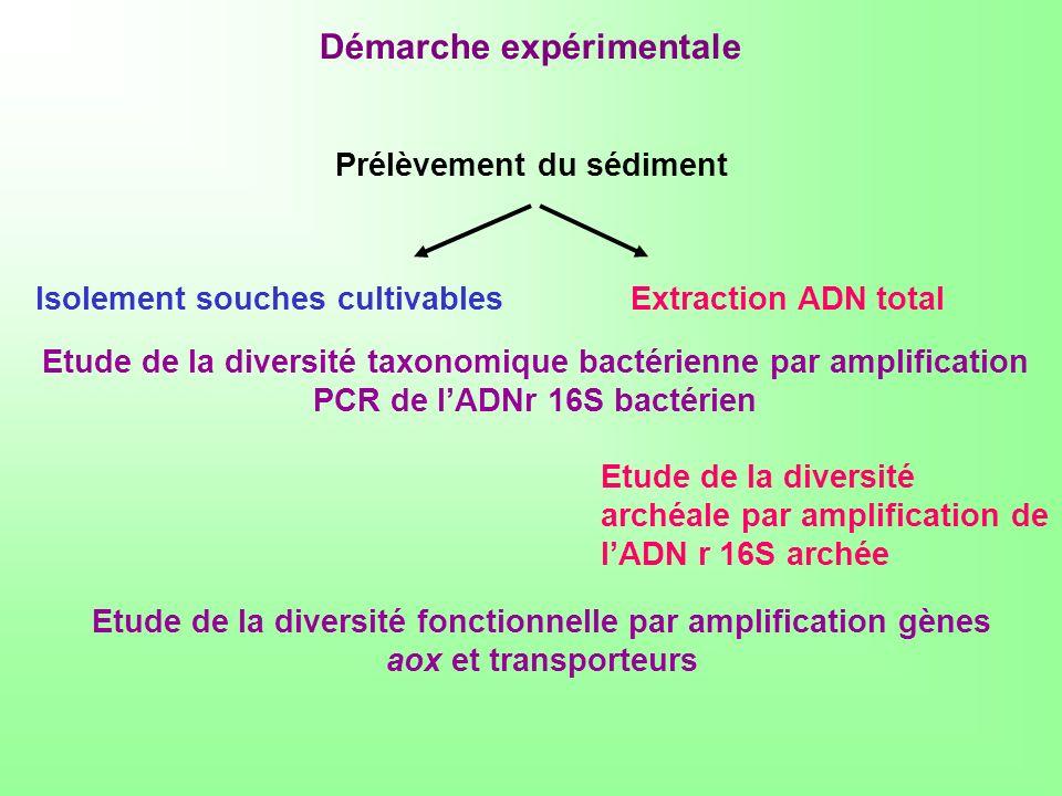 Prélèvement du sédiment Isolement souches cultivablesExtraction ADN total Etude de la diversité taxonomique bactérienne par amplification PCR de lADNr