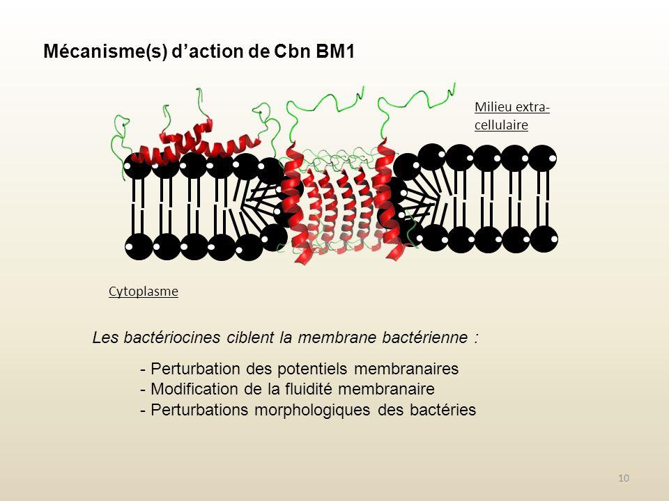 Mécanisme(s) daction de Cbn BM1 10 Les bactériocines ciblent la membrane bactérienne : - Perturbation des potentiels membranaires - Modification de la