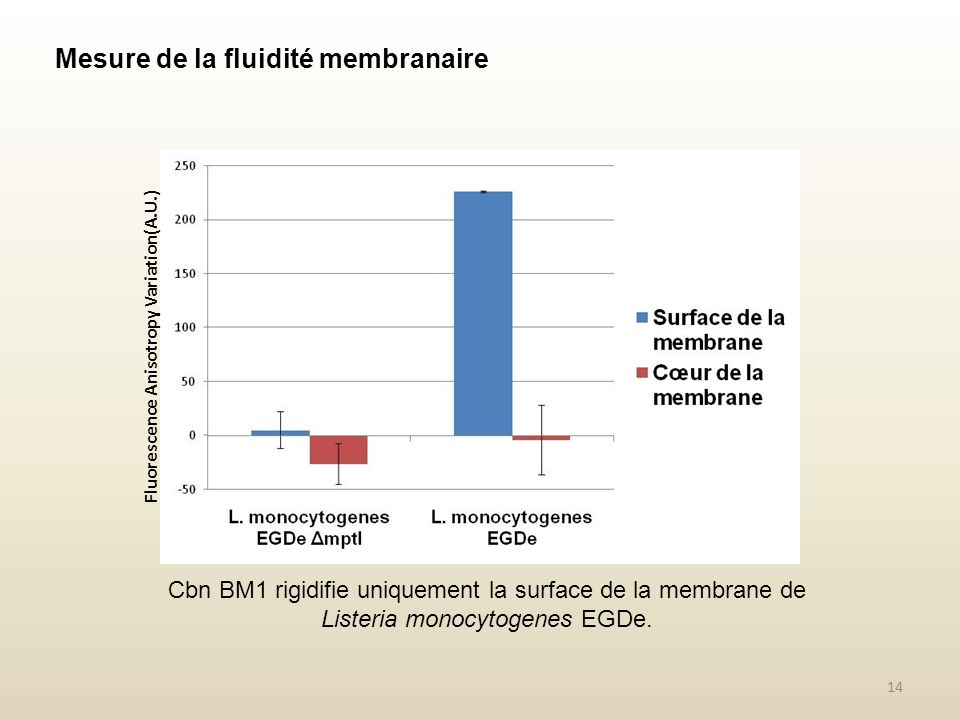 Cbn BM1 rigidifie uniquement la surface de la membrane de Listeria monocytogenes EGDe.