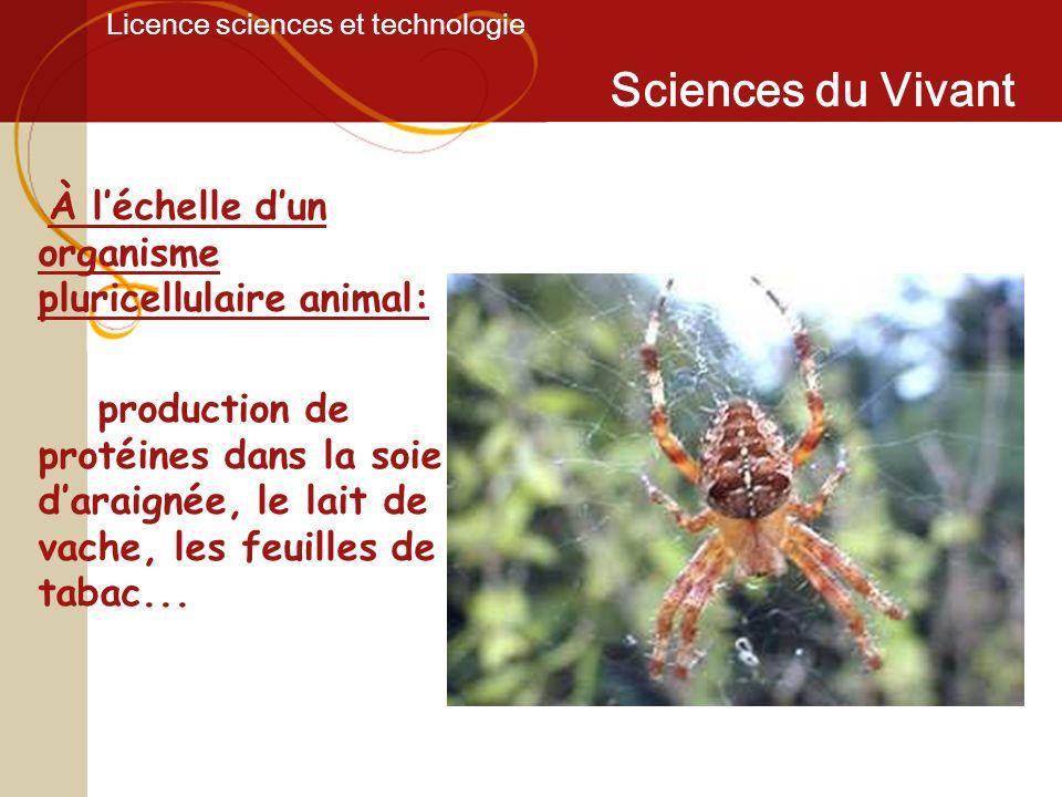 Licence sciences et technologie Sciences du Vivant À léchelle dun organisme pluricellulaire animal: production de protéines dans la soie daraignée, le