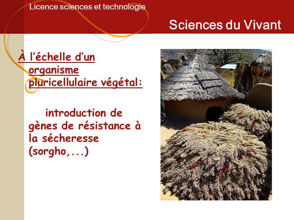 Licence sciences et technologie Sciences du Vivant À léchelle dun organisme pluricellulaire végétal: introduction de gènes de résistance à la sécheres