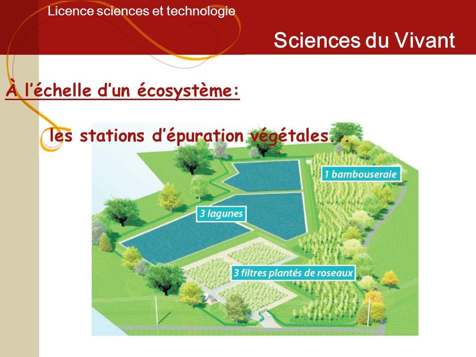 Licence sciences et technologie Sciences du Vivant À léchelle dun écosystème: les stations dépuration végétales...