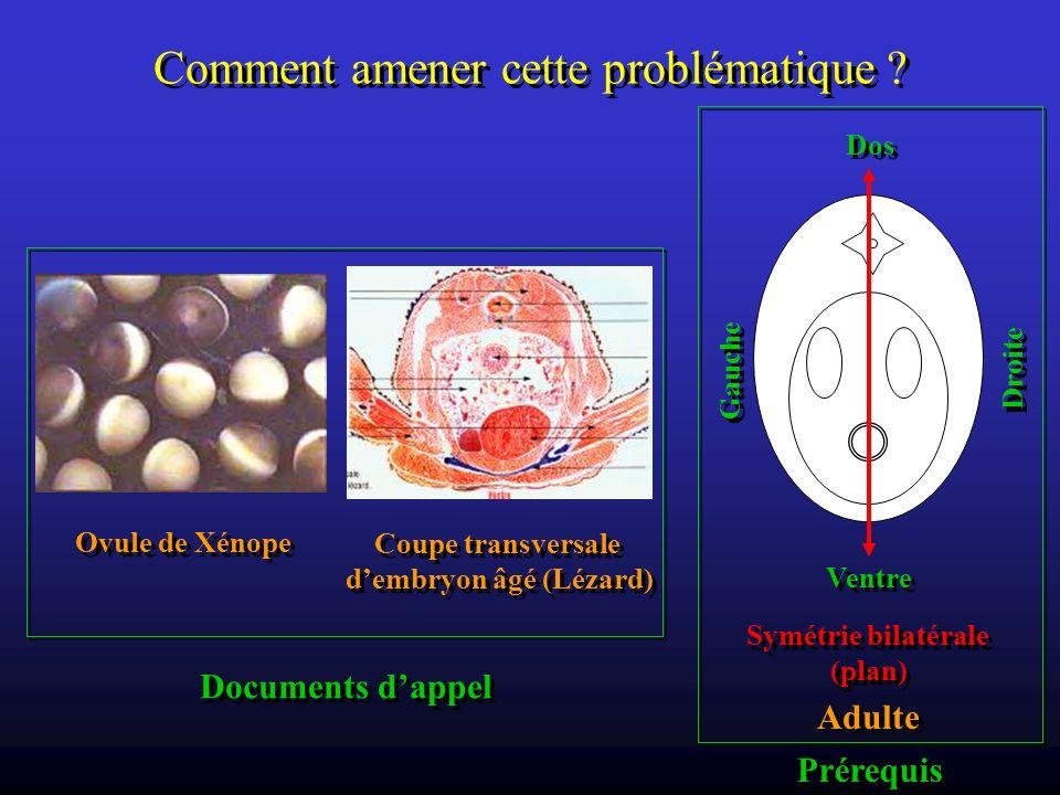 Comment amener cette problématique ? Ovule de Xénope Coupe transversale dembryon âgé (Lézard) Coupe transversale dembryon âgé (Lézard) Documents dappe