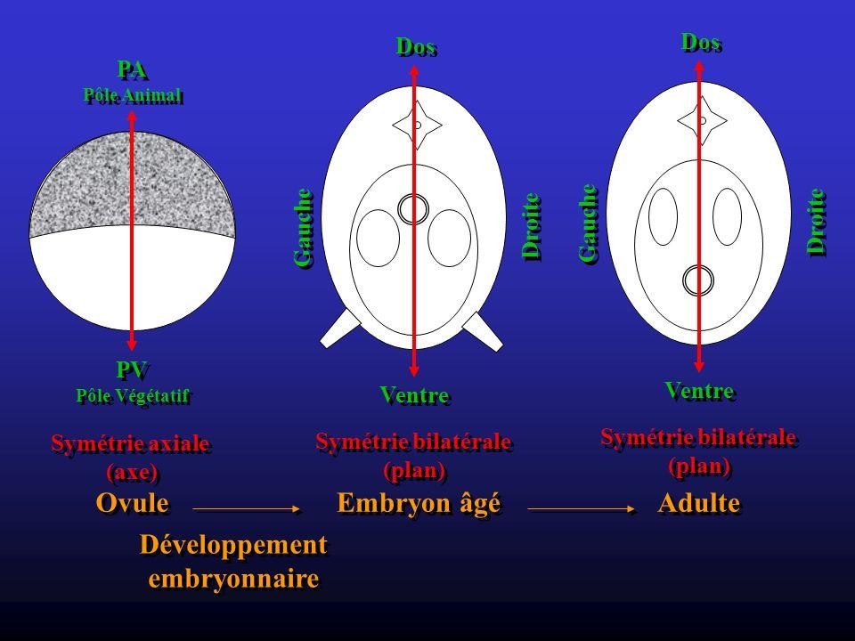 Adulte Dos Ventre Droite Gauche Symétrie bilatérale (plan) Symétrie bilatérale (plan) Ovule PA Pôle Animal PA Pôle Animal PV Pôle Végétatif PV Pôle Vé
