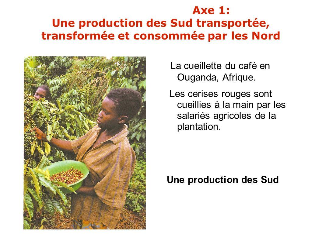 La cueillette du café en Ouganda, Afrique. Les cerises rouges sont cueillies à la main par les salariés agricoles de la plantation. Une production des