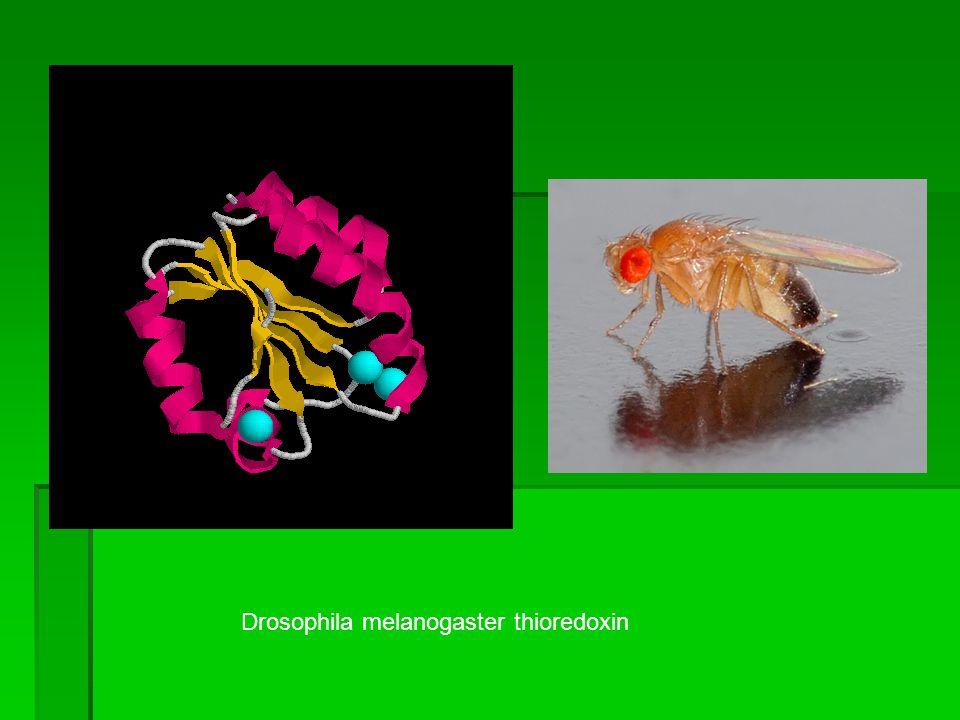 Drosophila melanogaster thioredoxin