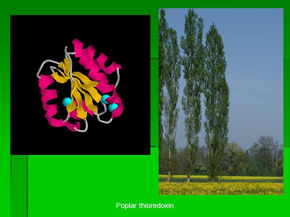 Poplar thioredoxin