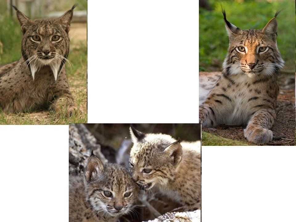 Le genre Lynx[Note 1] de la famille des félins (Felidae) et de la sous-famille des félinés abrite quatre espèces de lynx.