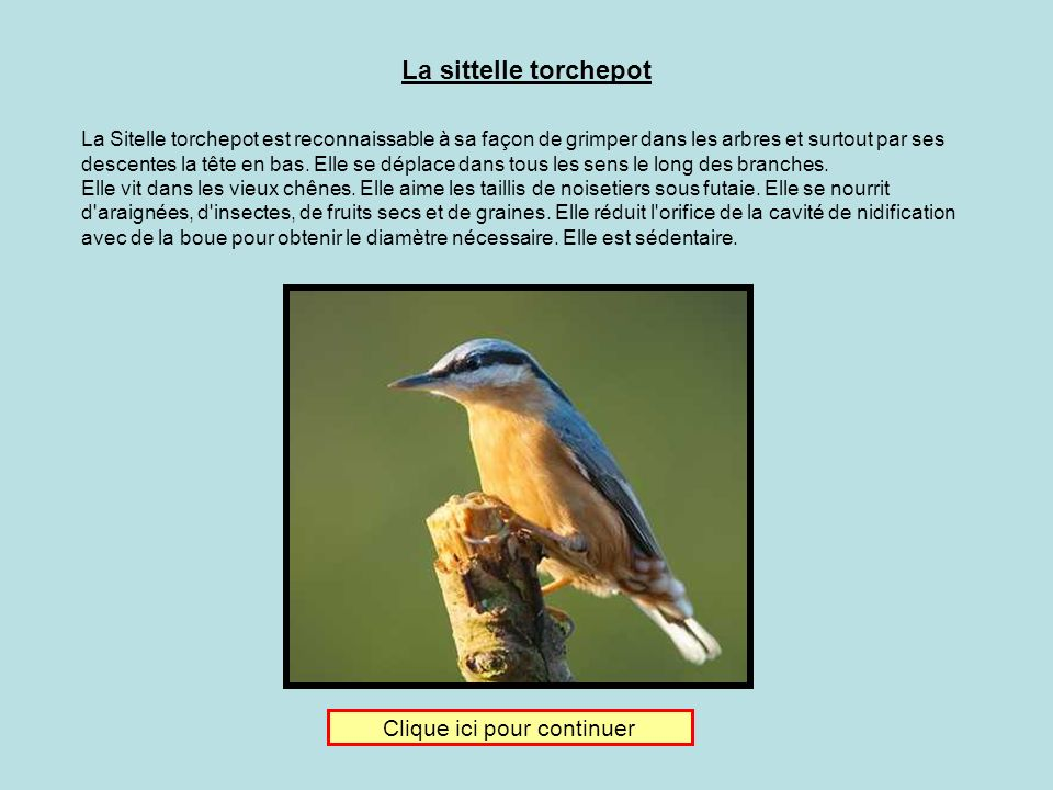 Je donne ma langue au chat Clique sur limage de la sittelle torchepot