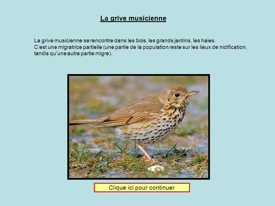 Je donne ma langue au chat Clique sur limage de la grive musicienne