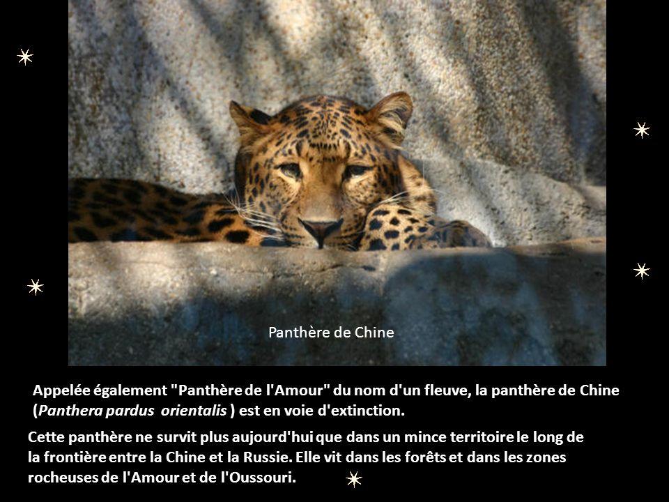 LA PANTHERE DES NEIGES La panthère des neiges ou once (Uncia uncia) est un peu plus petite que le léopard et possède une queue presque aussi longue que son corps.