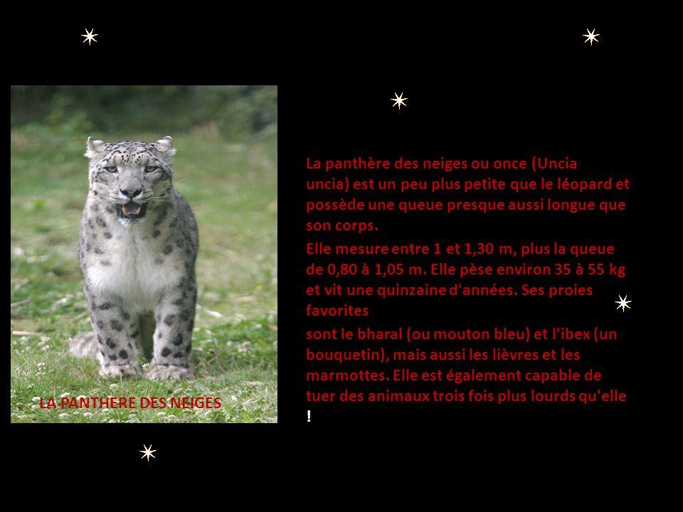 Panthère de l Inde La panthère de l Inde est une des sous- espèces de léopards les moins menacées, mais c est également l une des moins connues des scientifiques.