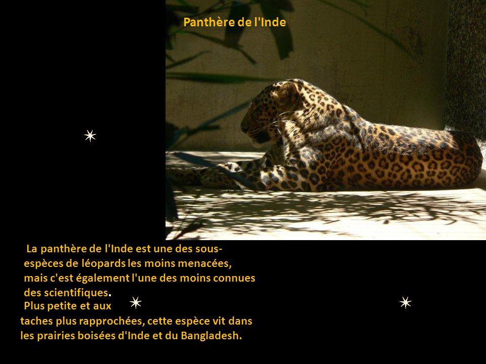 La panthère nébuleuse Sa vie nocturne rend son observation délicate.
