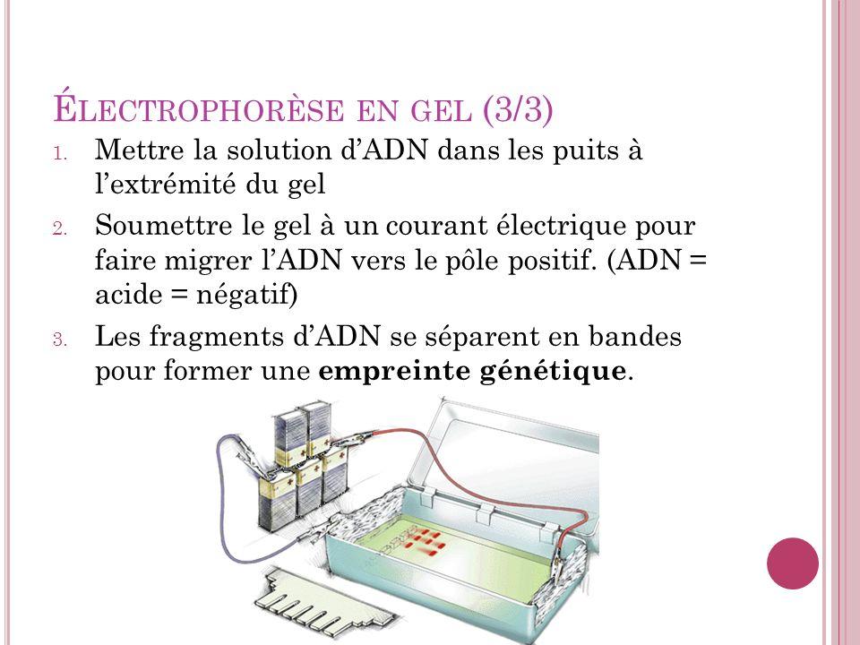 É LECTROPHORÈSE EN GEL (3/3) 1. Mettre la solution dADN dans les puits à lextrémité du gel 2. Soumettre le gel à un courant électrique pour faire migr