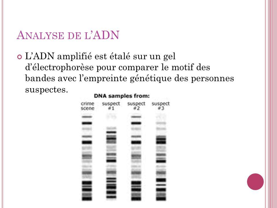 A NALYSE DE L ADN LADN amplifié est étalé sur un gel délectrophorèse pour comparer le motif des bandes avec lempreinte génétique des personnes suspect