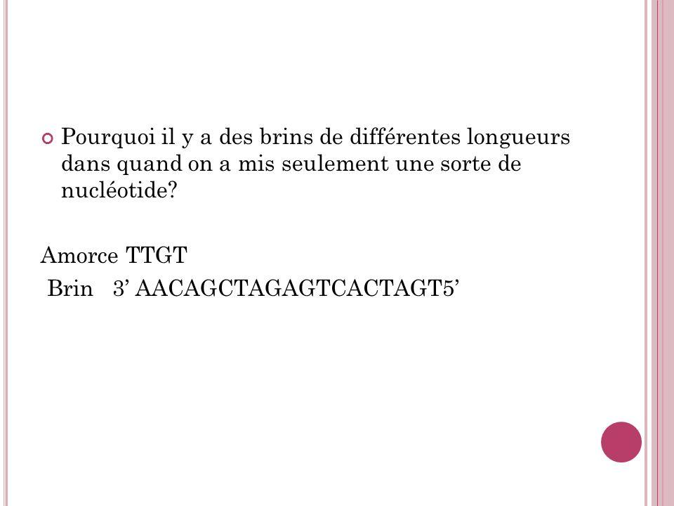 Pourquoi il y a des brins de différentes longueurs dans quand on a mis seulement une sorte de nucléotide? Amorce TTGT Brin 3 AACAGCTAGAGTCACTAGT5