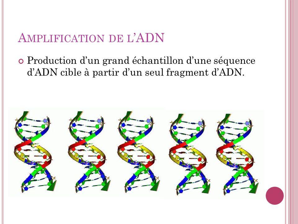 A MPLIFICATION DE L ADN Production dun grand échantillon dune séquence dADN cible à partir dun seul fragment dADN.