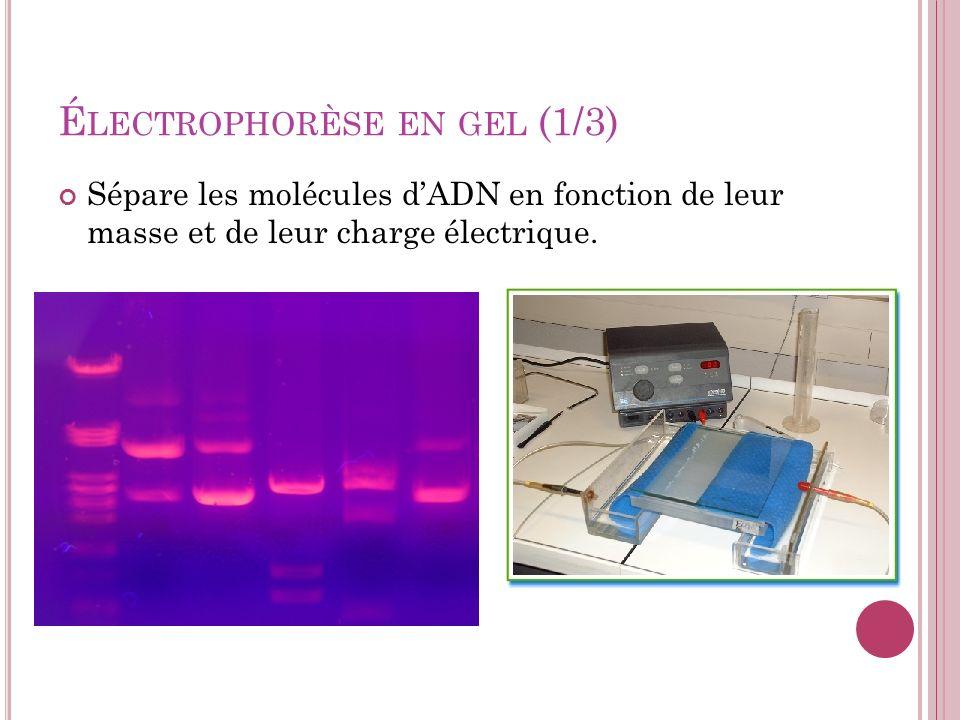 É LECTROPHORÈSE EN GEL (1/3) Sépare les molécules dADN en fonction de leur masse et de leur charge électrique.