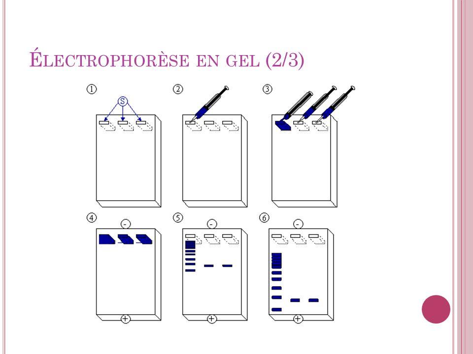 É LECTROPHORÈSE EN GEL (3/3) 1.Mettre la solution dADN dans les puits à lextrémité du gel 2.