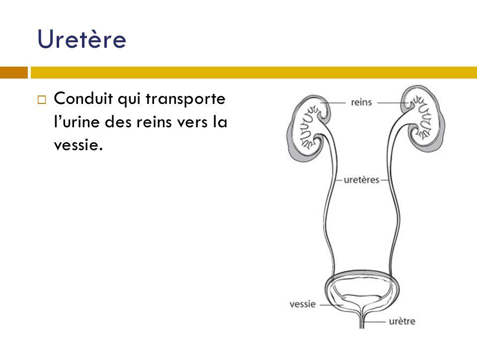 Uretère Conduit qui transporte lurine des reins vers la vessie.