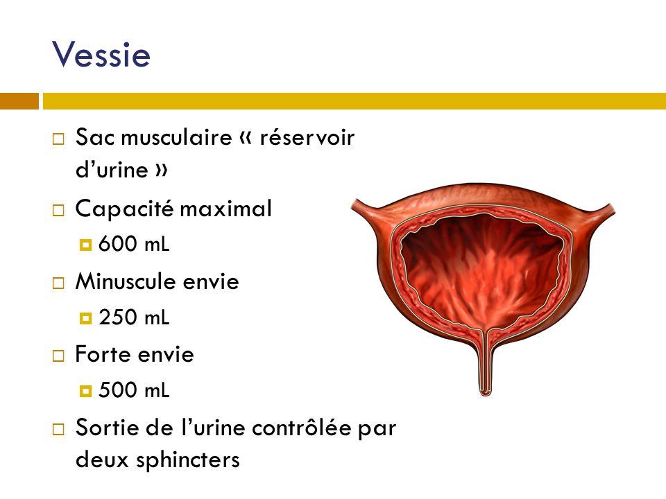 Vessie Sac musculaire « réservoir durine » Capacité maximal 600 mL Minuscule envie 250 mL Forte envie 500 mL Sortie de lurine contrôlée par deux sphin