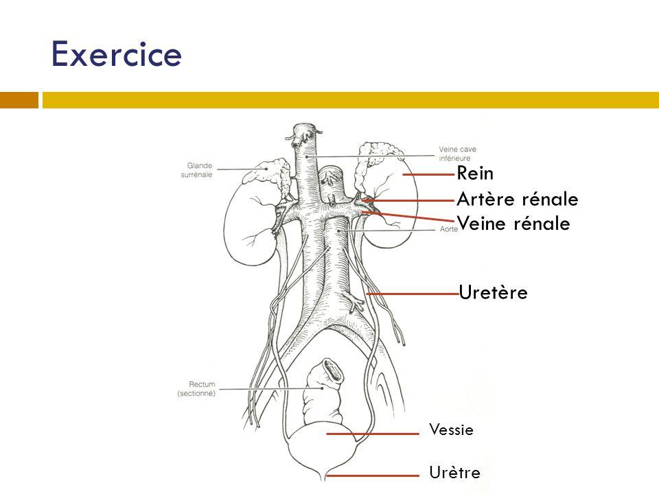 Exercice Rein Artère rénale Vessie Veine rénale Urètre Uretère