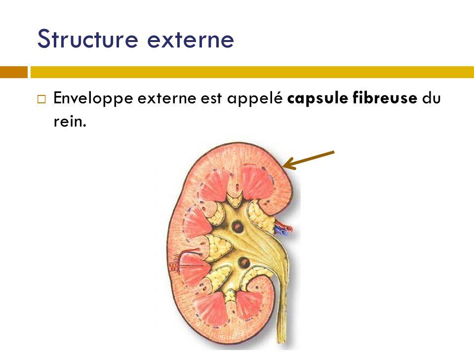 Structure externe Enveloppe externe est appelé capsule fibreuse du rein.