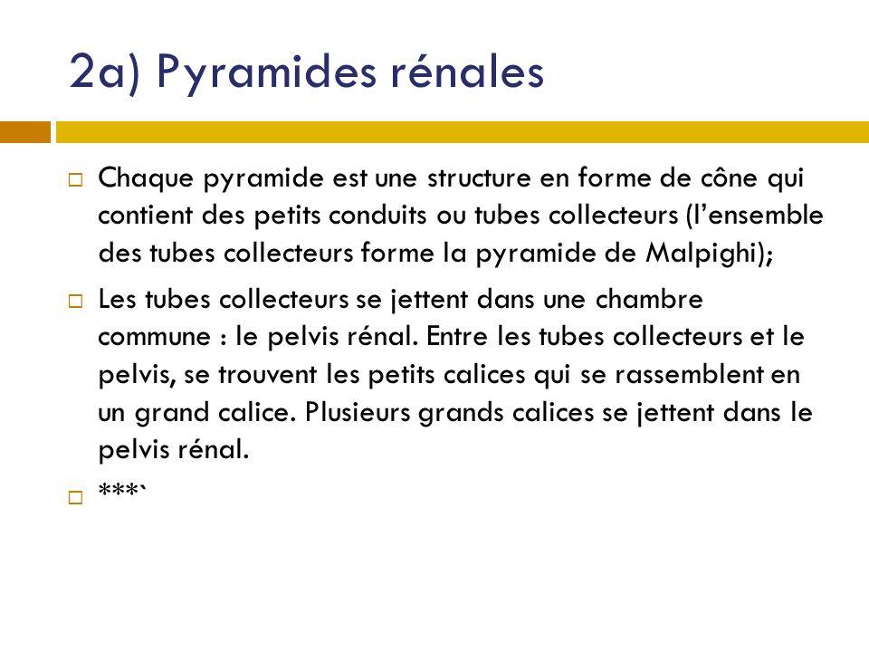 2a) Pyramides rénales Chaque pyramide est une structure en forme de cône qui contient des petits conduits ou tubes collecteurs (lensemble des tubes co