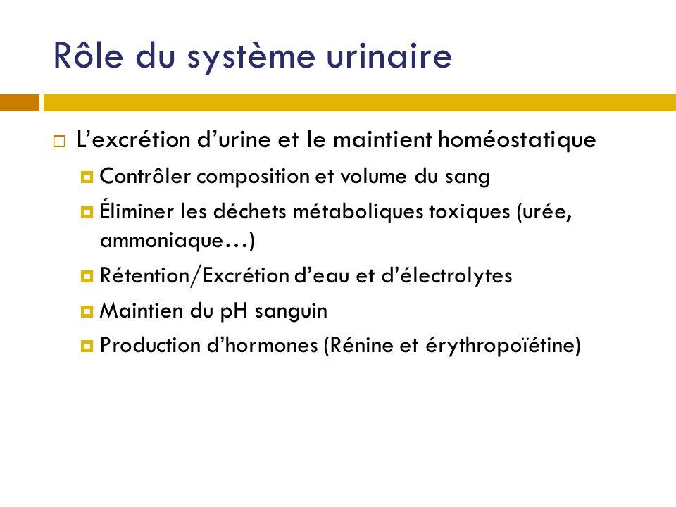 Rôle du système urinaire Lexcrétion durine et le maintient homéostatique Contrôler composition et volume du sang Éliminer les déchets métaboliques tox