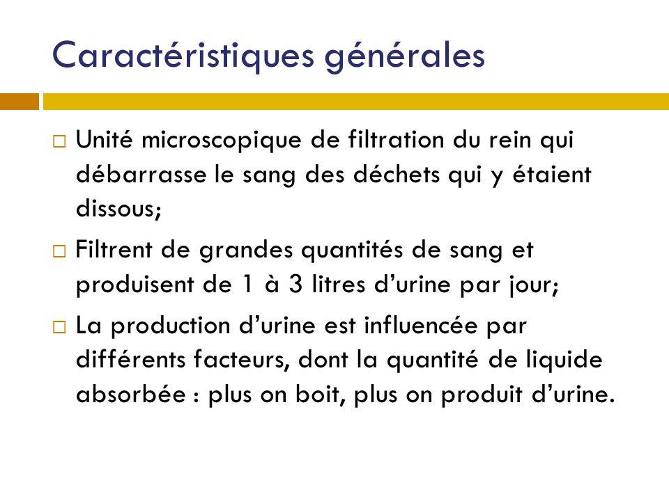 Caractéristiques générales Unité microscopique de filtration du rein qui débarrasse le sang des déchets qui y étaient dissous; Filtrent de grandes qua