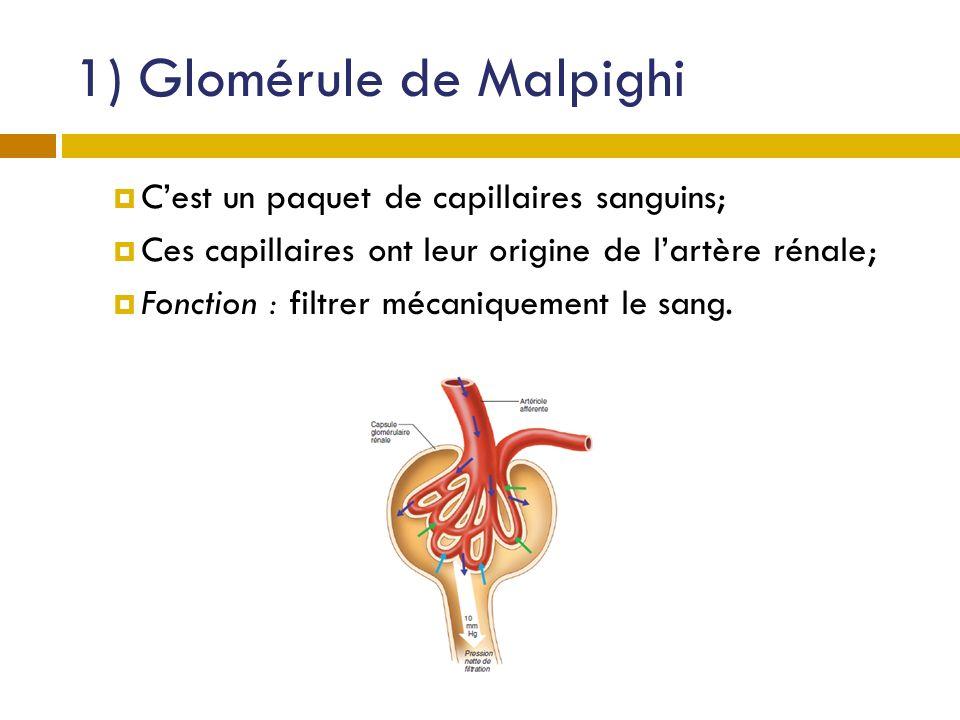 1) Glomérule de Malpighi Cest un paquet de capillaires sanguins; Ces capillaires ont leur origine de lartère rénale; Fonction : filtrer mécaniquement