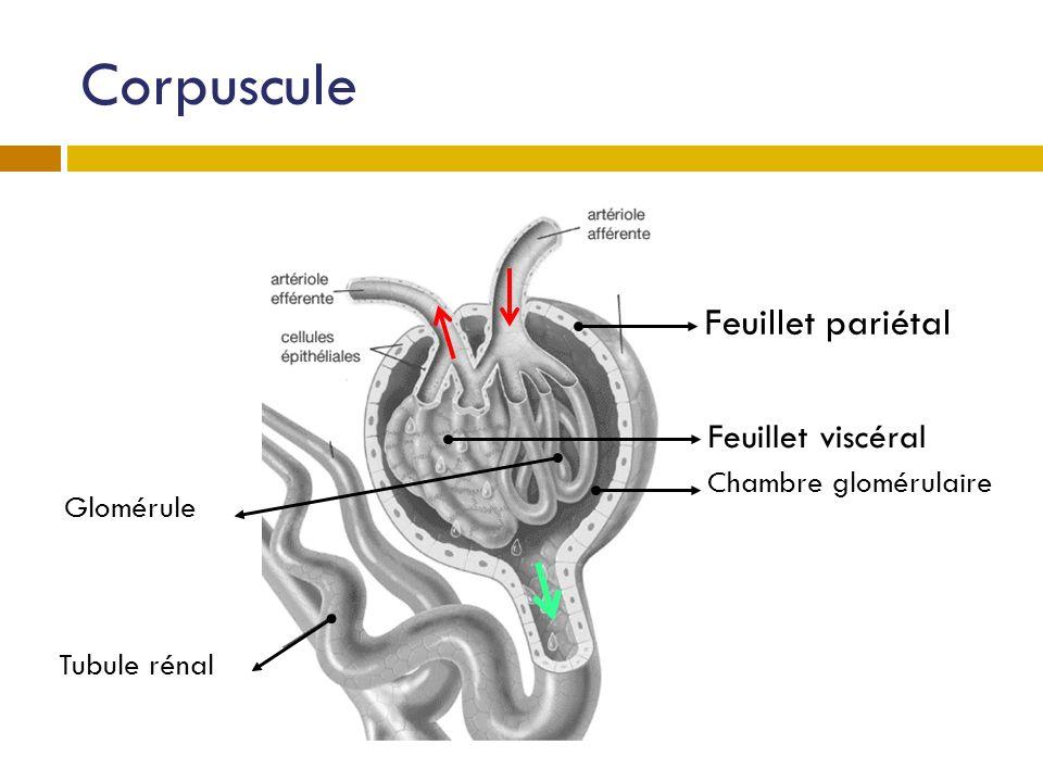 Corpuscule Feuillet pariétal Feuillet viscéral Chambre glomérulaire Tubule rénal Glomérule