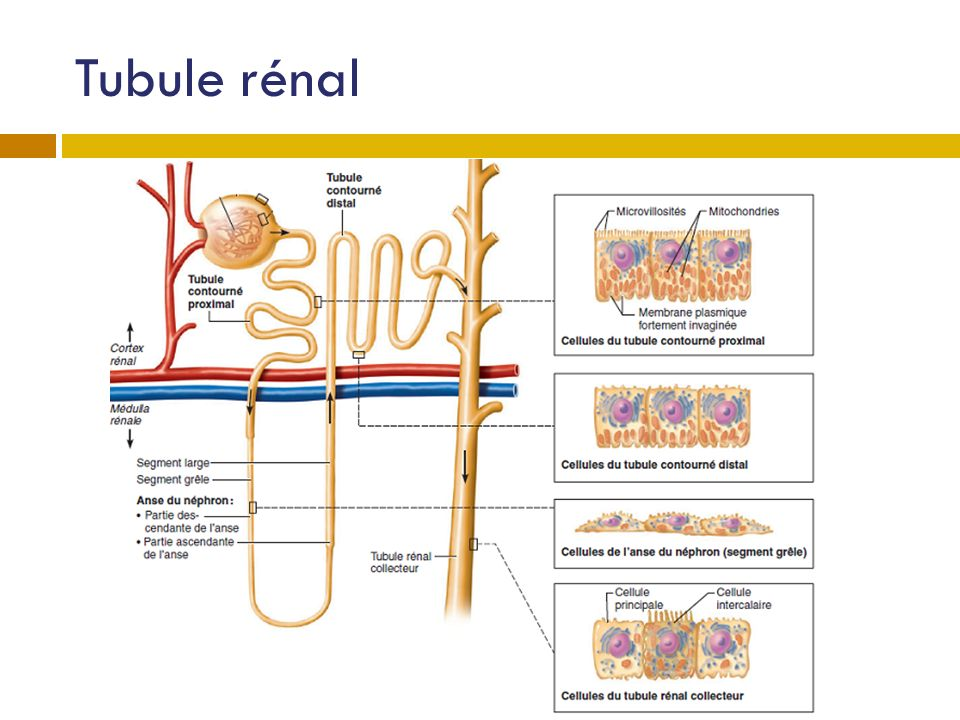 Tubule rénal