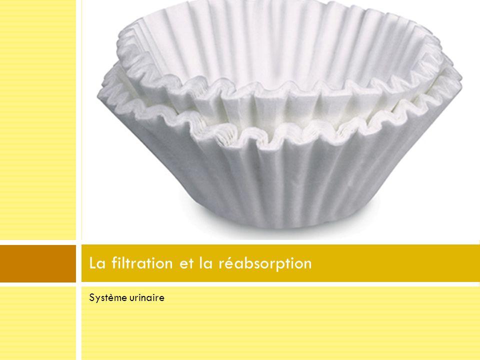 Système urinaire La filtration et la réabsorption