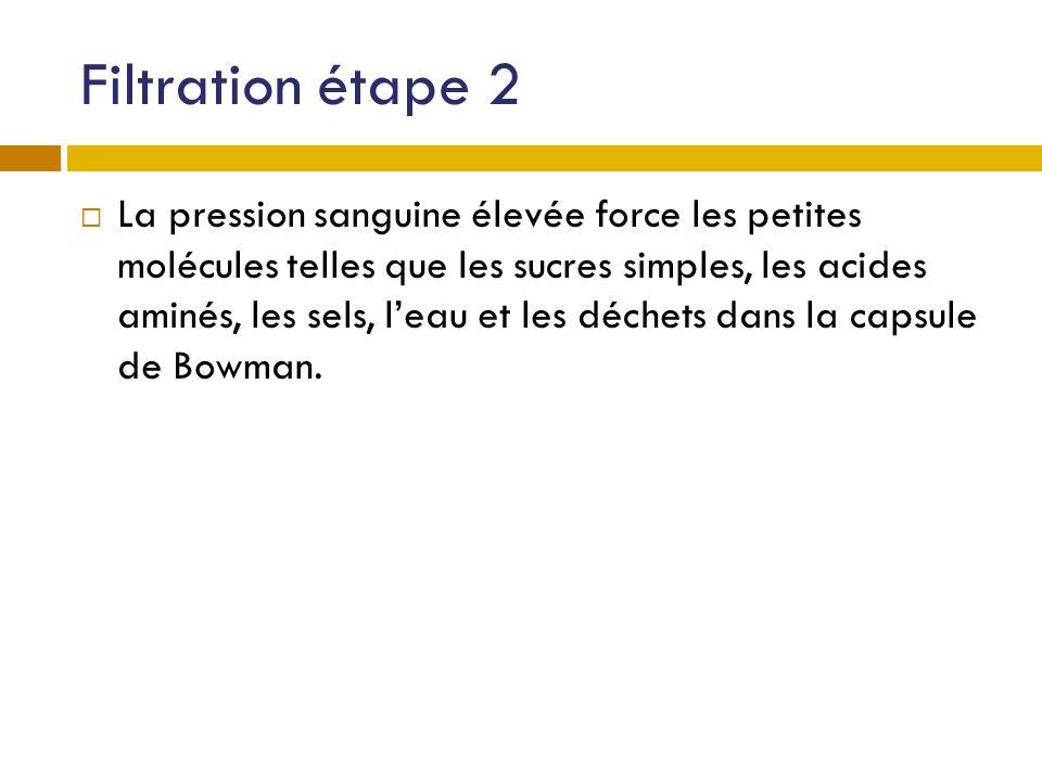 Filtration étape 2 La pression sanguine élevée force les petites molécules telles que les sucres simples, les acides aminés, les sels, leau et les déc